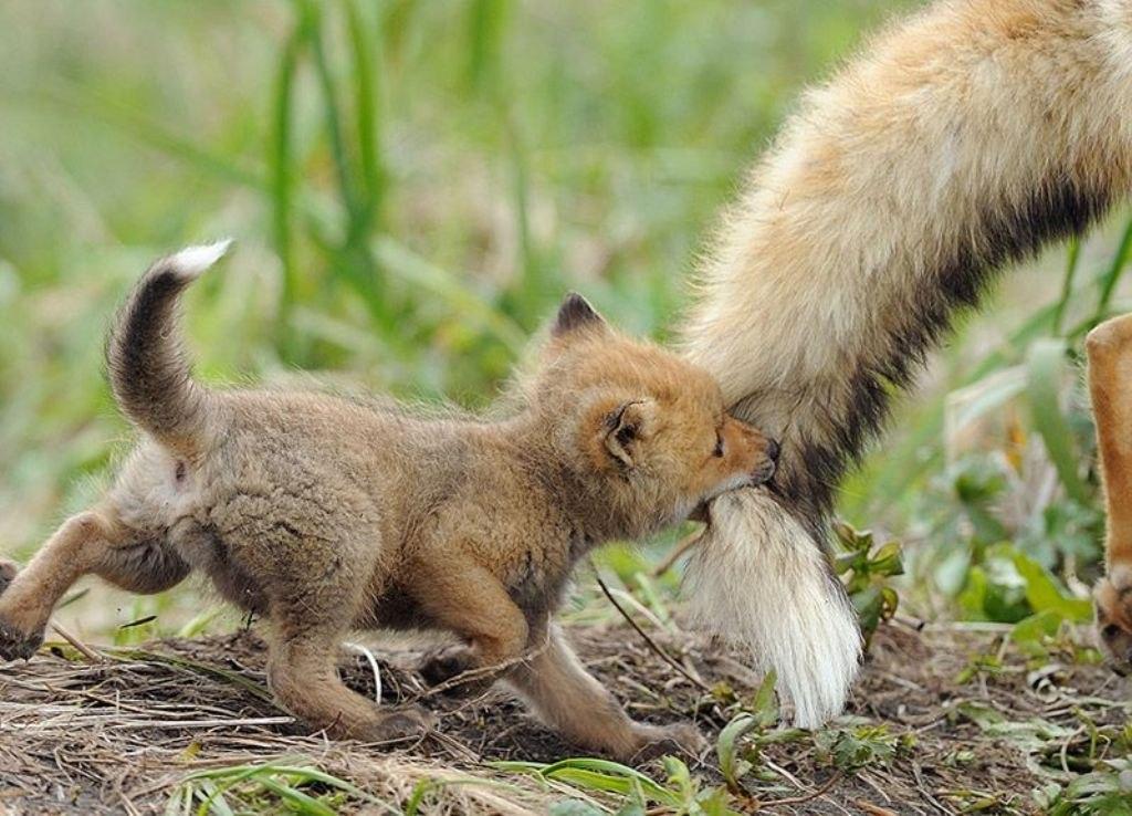 детеныш лисицы впервые увязался за маминым хвостом