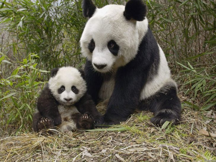 Ну и че уставились - детеныша панды не видали?