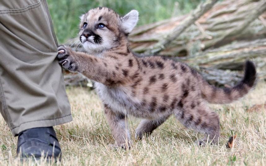Первая попытка охоты у детеныша пумы