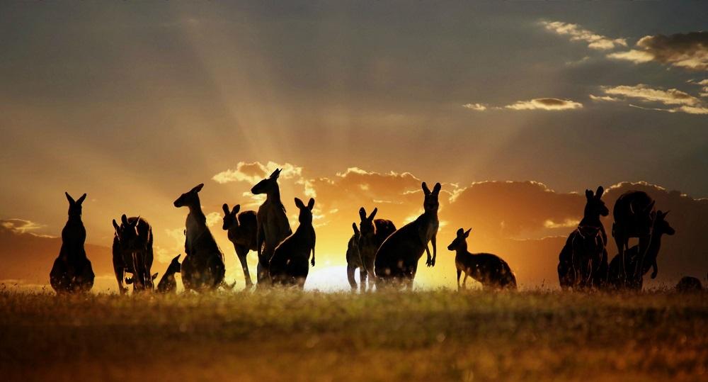 Необычное фото кенгуру на закате дня