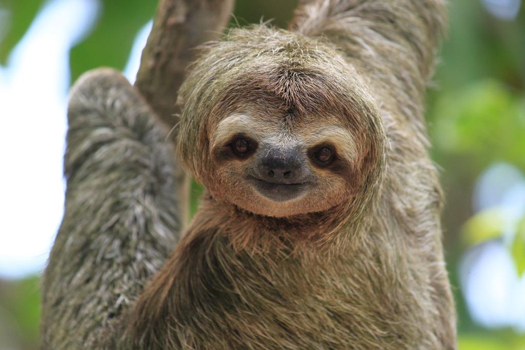 забавное животное - ленивец