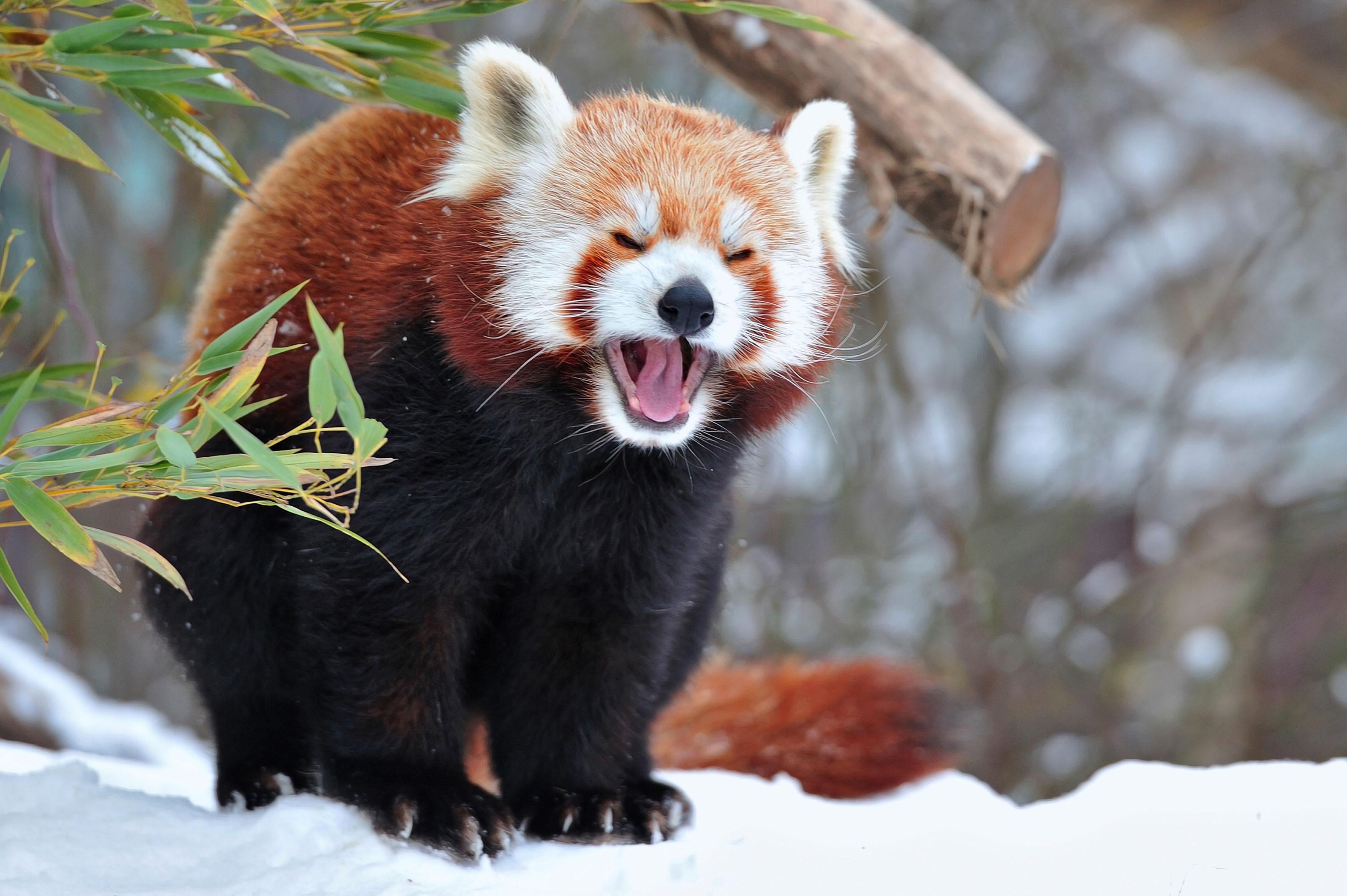 удивительное животное - малая панда