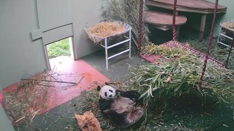 Позитивная панда из Эдинбурга