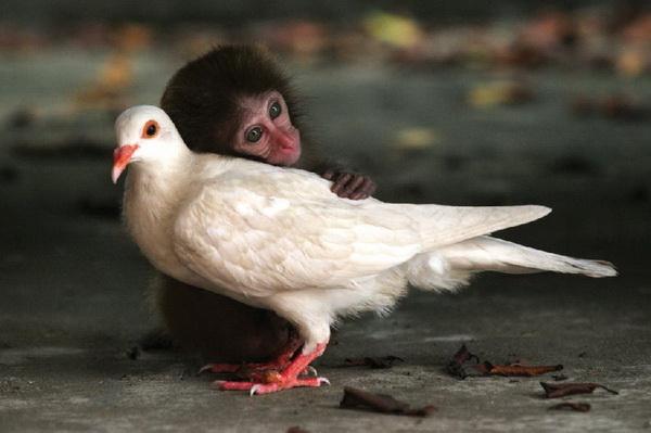 обезьяна и голубь