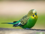 забавный попугай