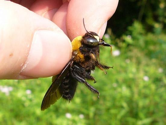 пчела отстаяла улей