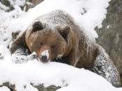 медведи в спячке