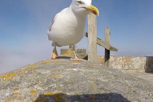 любопытная чайка с фото