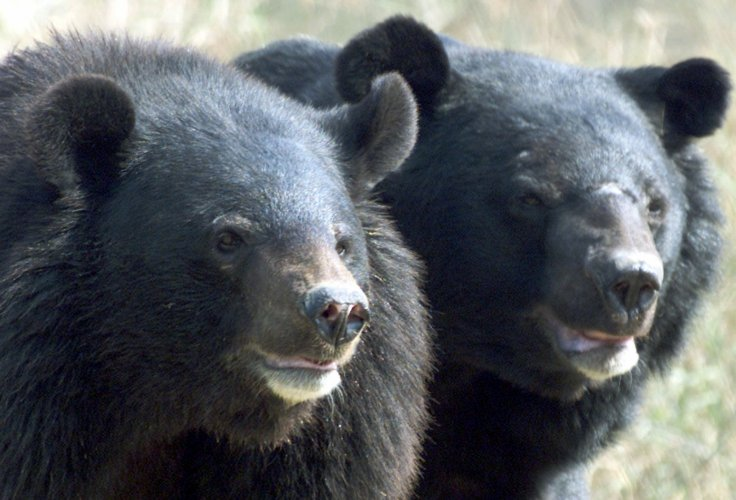asian-black-bears