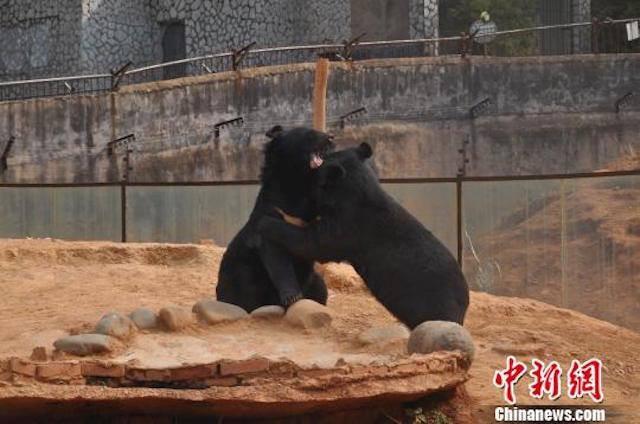 два гималайских медведя