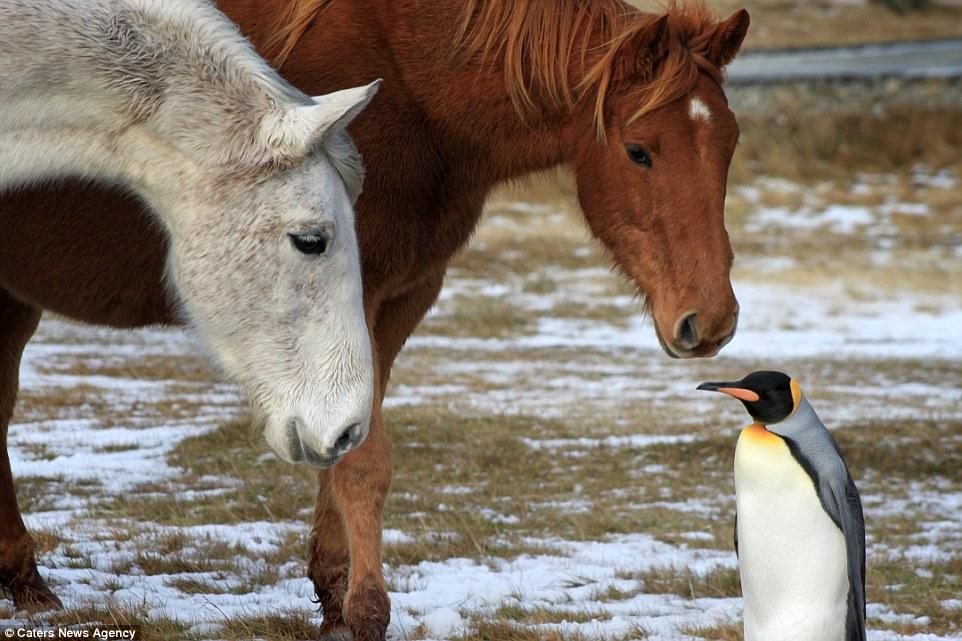 табун лошадей с пингвином на фолклендах