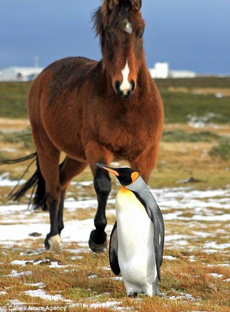 пингвин и лошадь