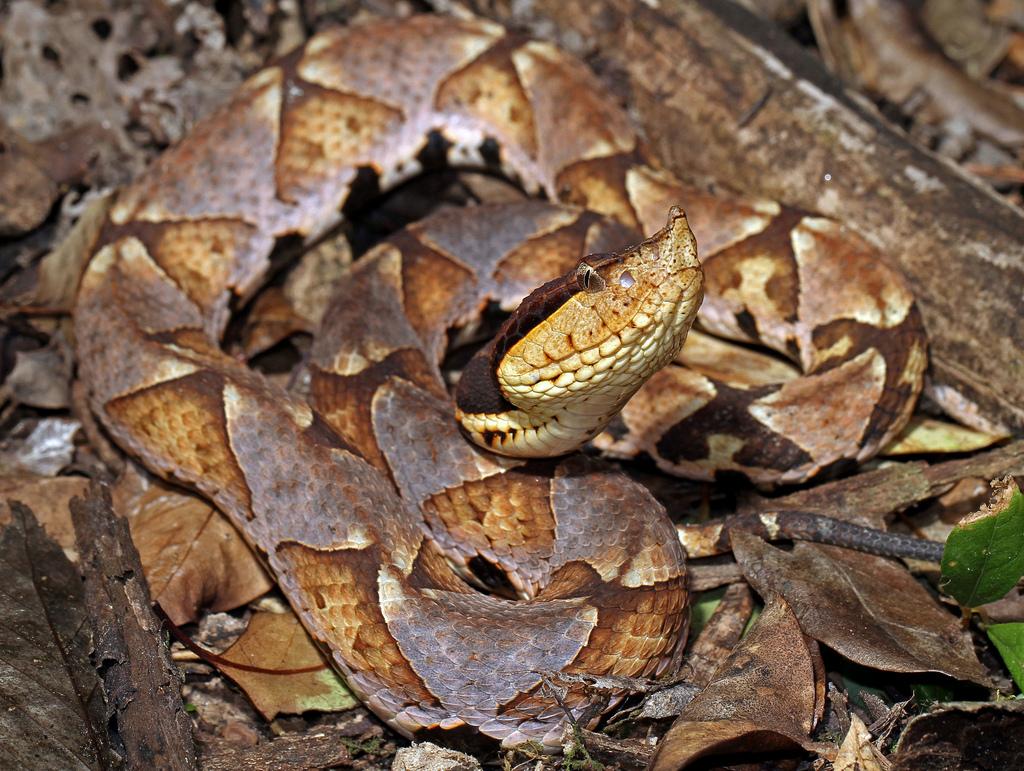 viper Agkistrodon acutus