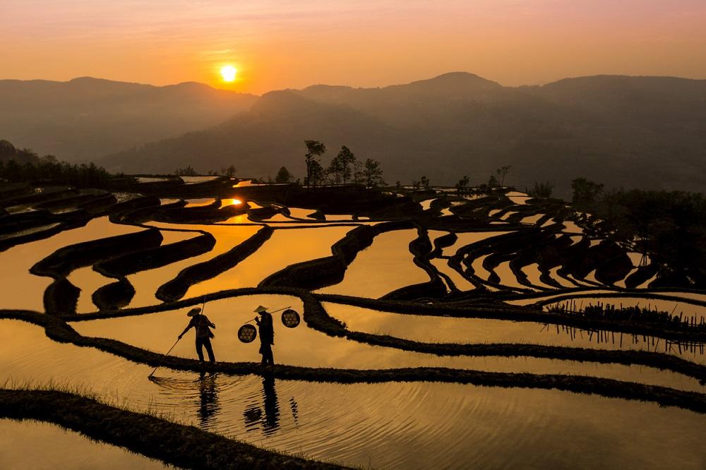 Рисовые поля2