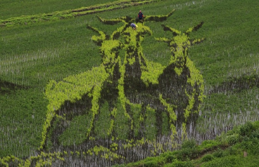 фермеры из Китая создали картины из риса