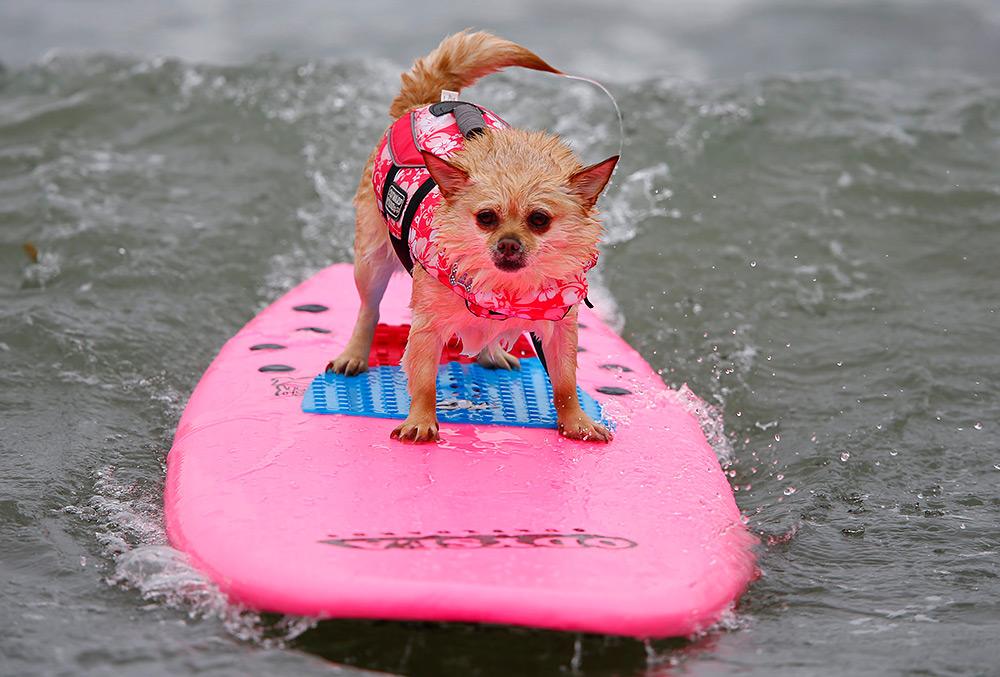 четверолапый серфинг