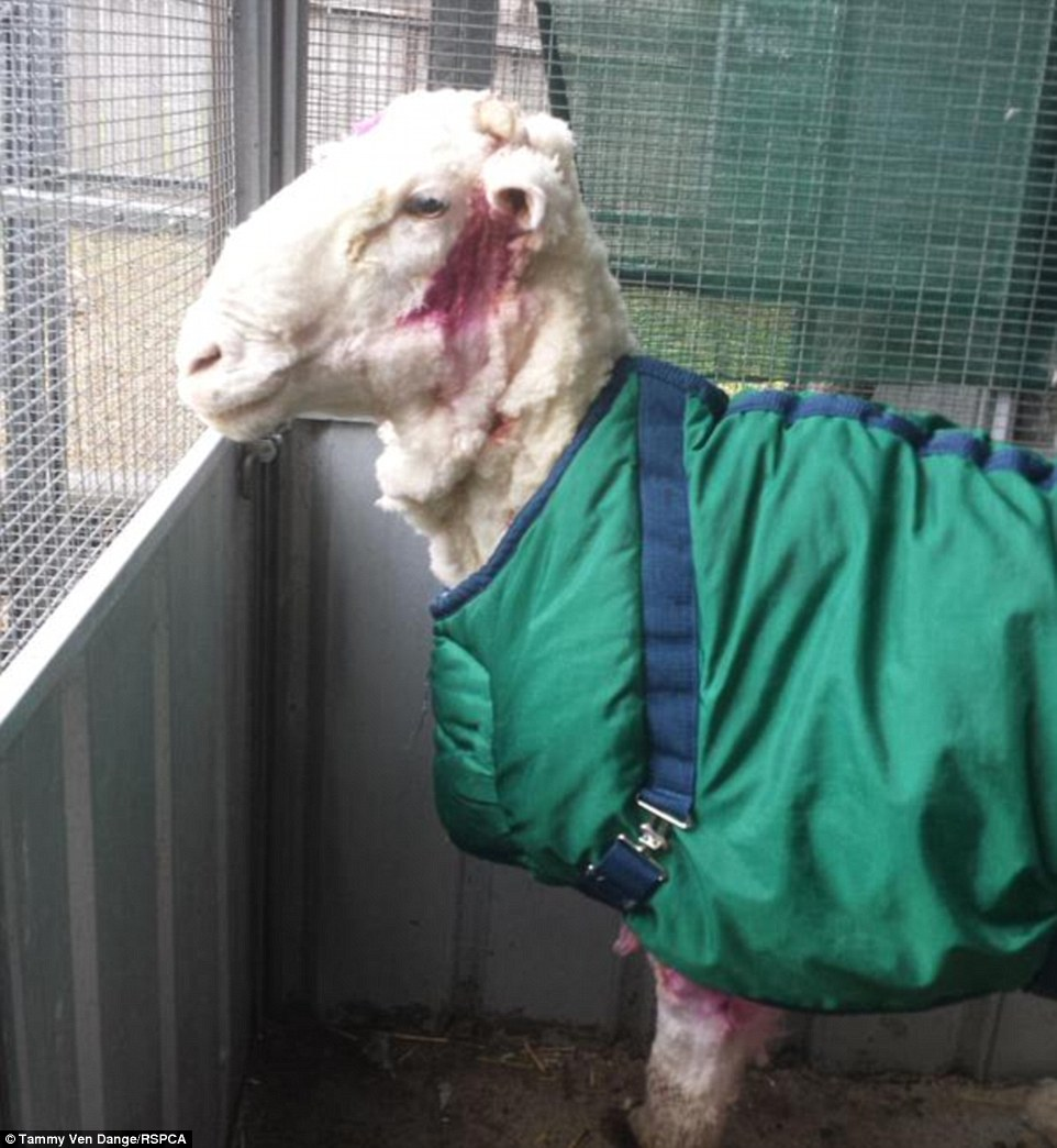 Избавление от шерсти по-австралийски