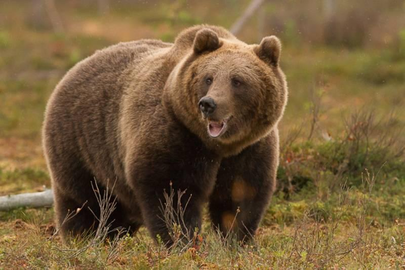 Eurasian-Brown-Bear_1