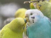 попугаи - миллионеры