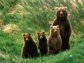 определение популяции по калу медведей