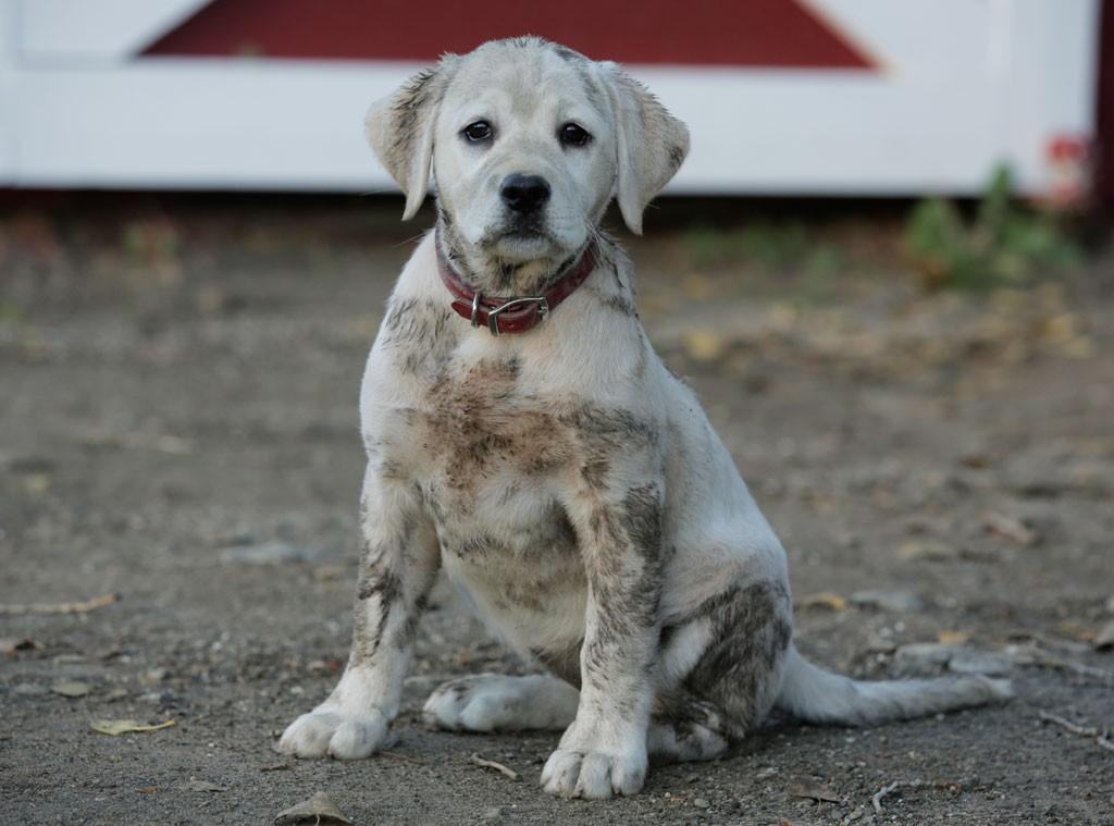супер щенок из рекламы пива budweiser