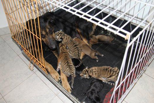 собака усыновила тигрят