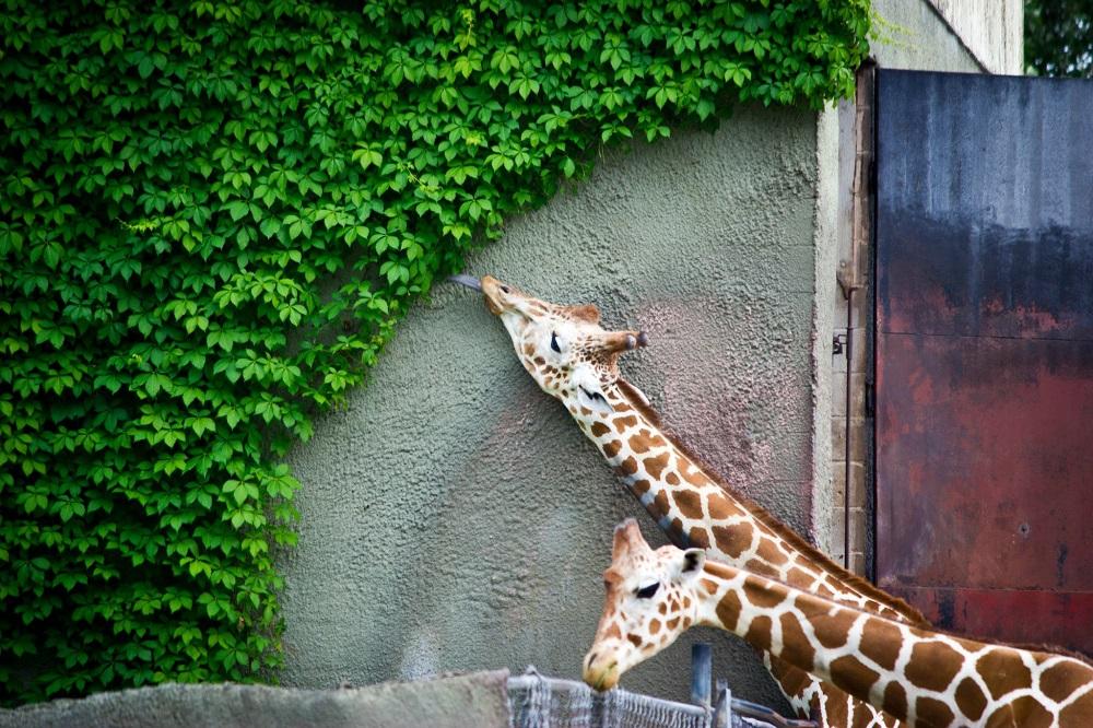 Жираф съел всю зелень