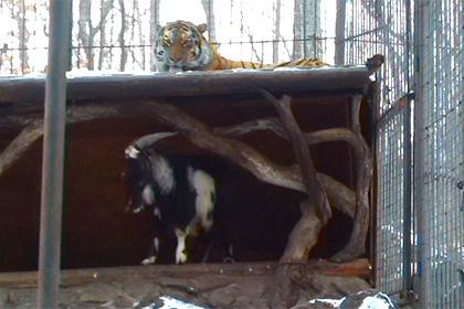 тигр и козел
