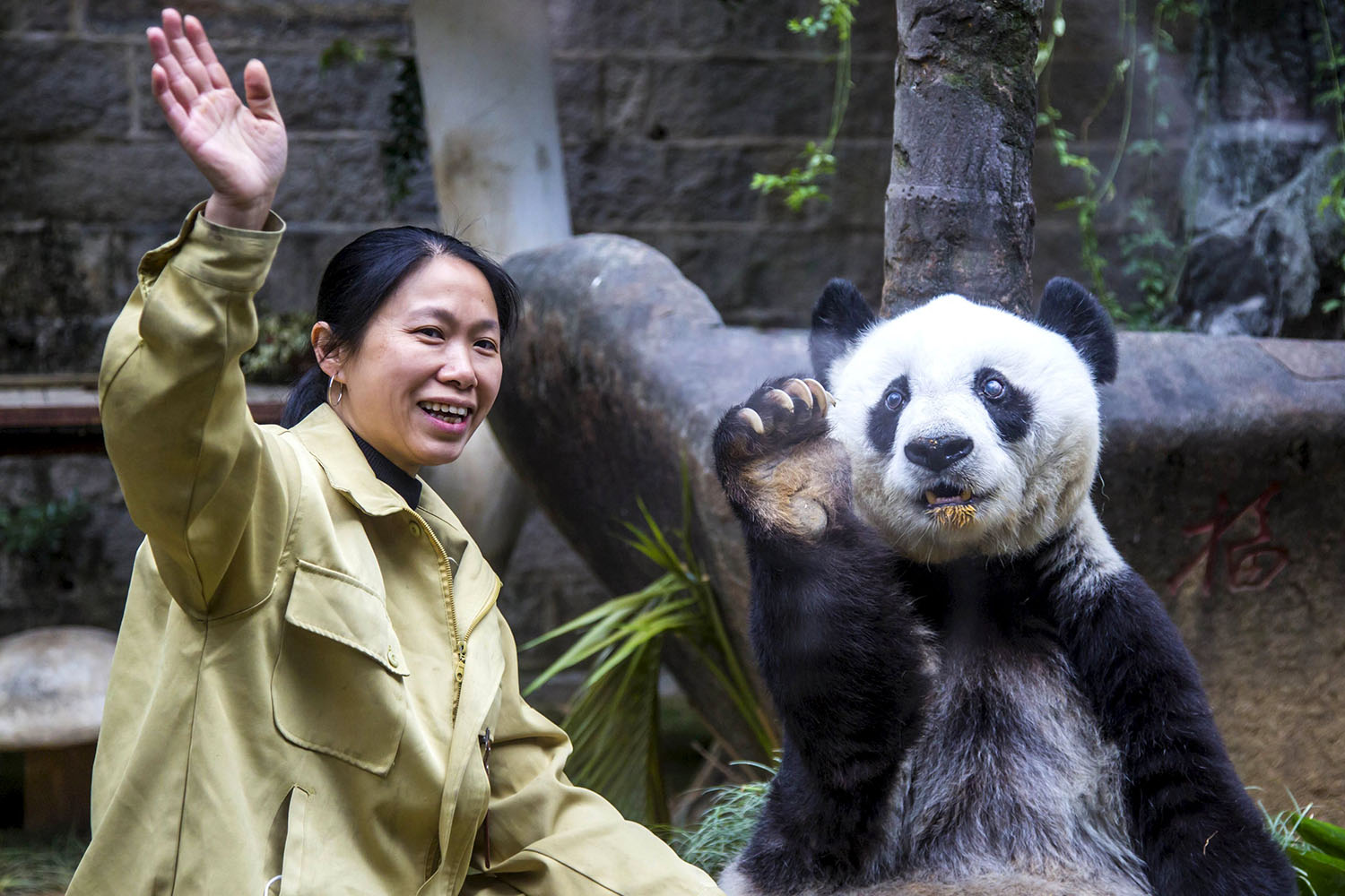 Giant panda Basi imitates its keeper to wave at visitors on its 35th birthday, at a giant panda research centre in Fuzhou