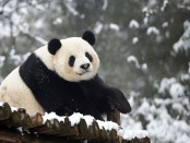 Супер позитивная панда отметила 35