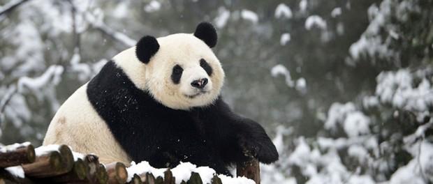 Животный символ Китая отпраздновал свое «столетие»