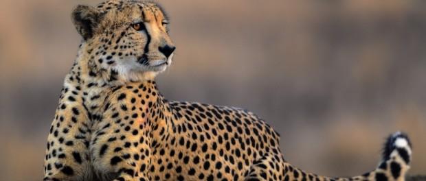 Родина африканских гепардов – Северная Америка