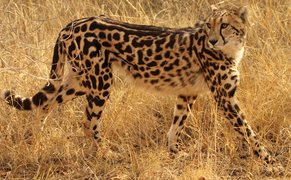 самая красивая кошка гепард