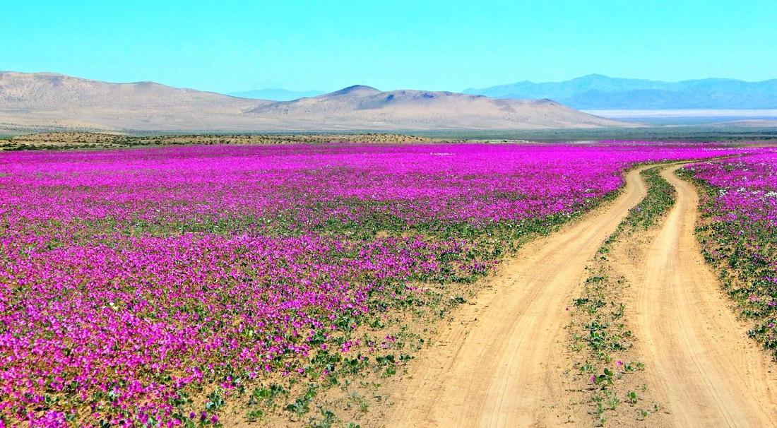 Самое сухое место на Земле пустыня Атакама расцвела