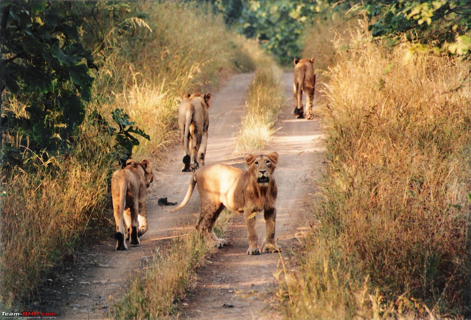 дикие кошки в гирском заповеднике