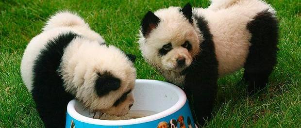 Итальянские циркачи вывели новую породу панд