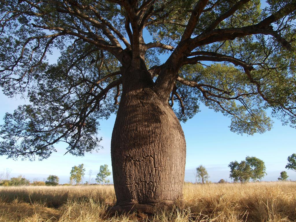 бутылочное дерево из австралии