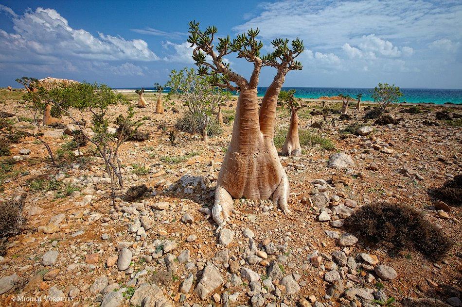Красота бутылочного дерева на Сокотре