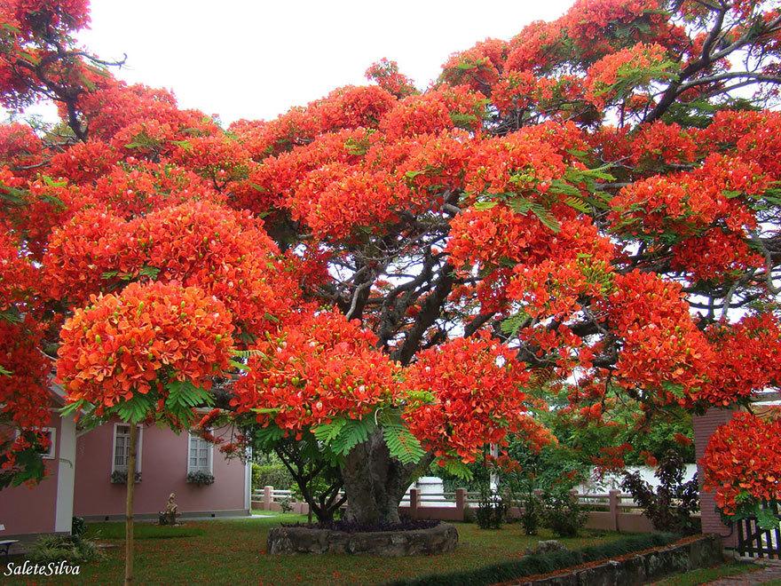 Яркое дерево Делоникс