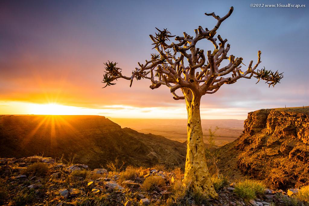 Природная красота колчанного дерева