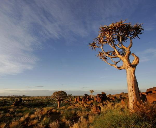 Забвное колчанное дерево