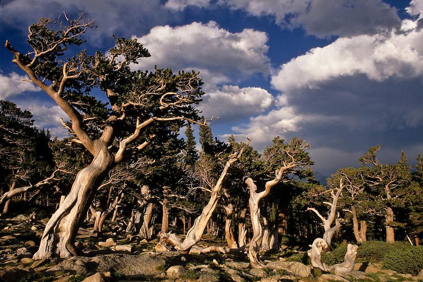 Bristlecone Pine [Pinus aristata] forest