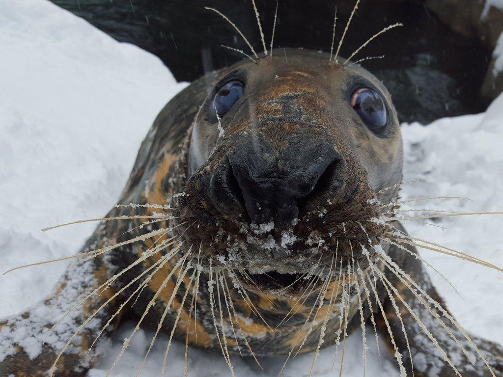 Бывают морские котики, а в Вашингтоне - снежные