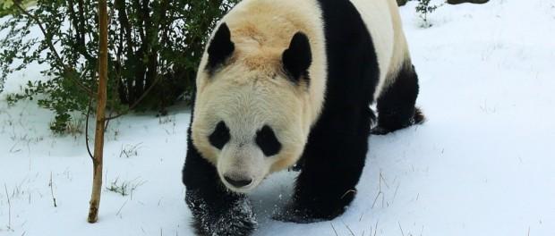«Снежная панда» из Вашингтона покорила соцсети