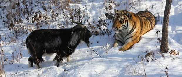 Тигро-козло-мания  в РФ набирает обороты