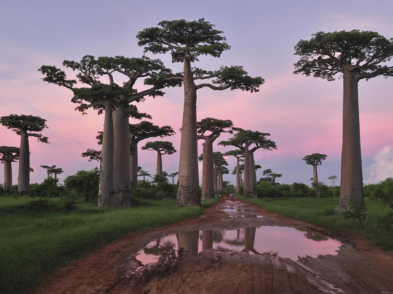 Adansonia-баобаб02
