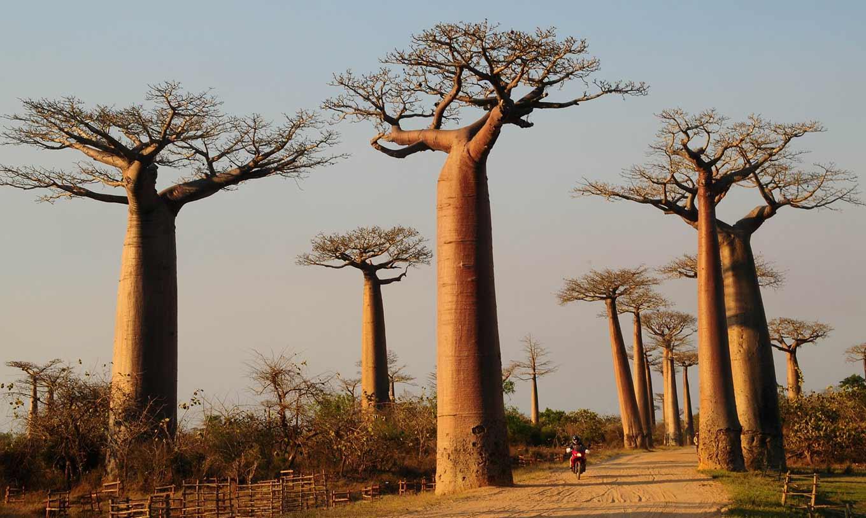 Природная красота баобабов на Мадагаскаре