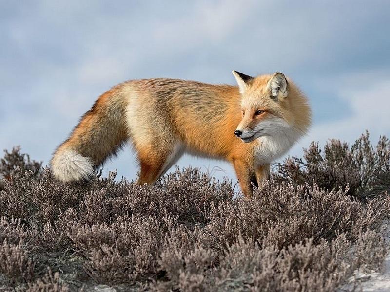 Обворожительный лис в Заполярье