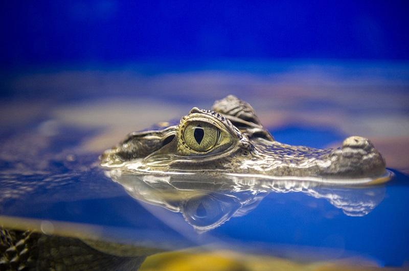 Зоркий глаз крокодила