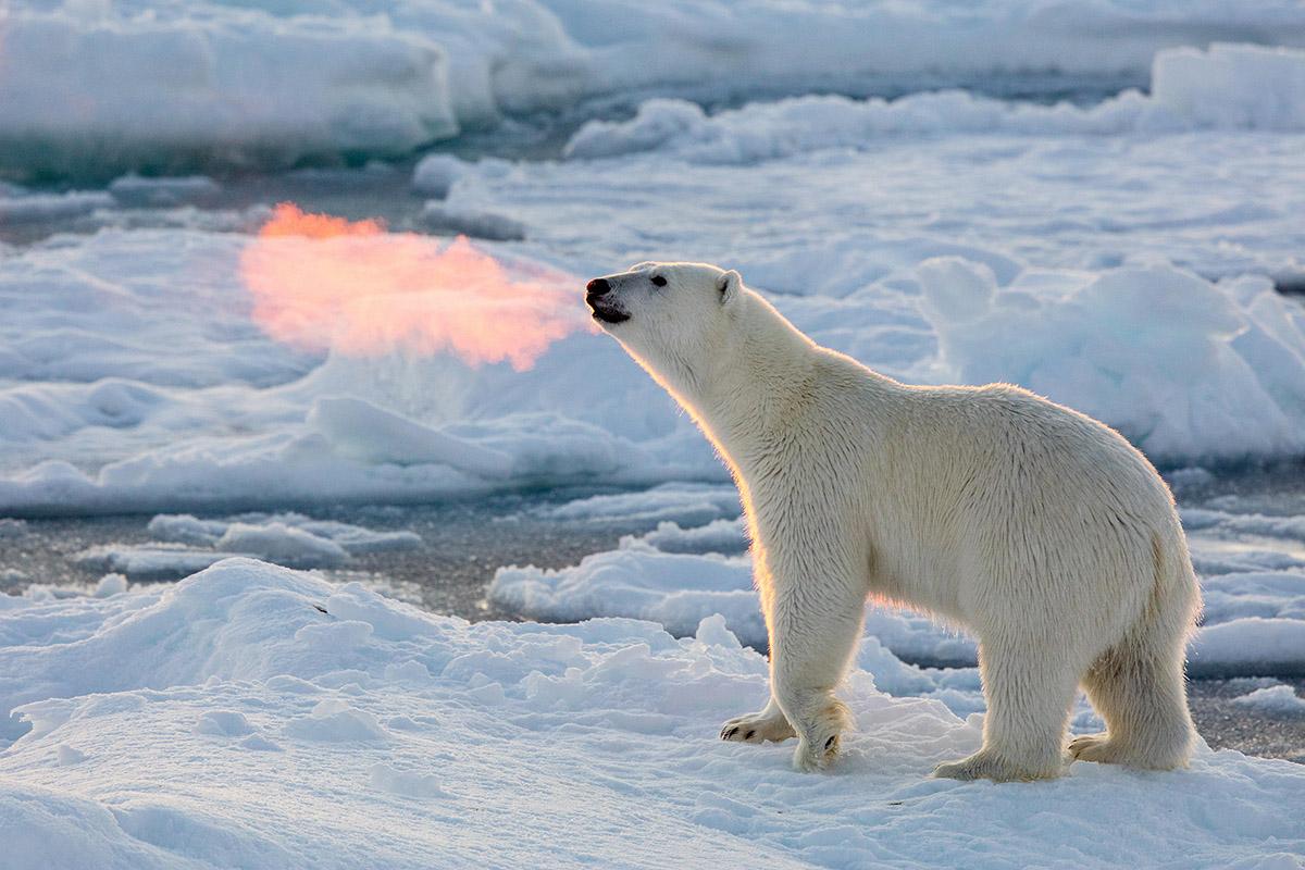Огнедышаший медведь в Арктике